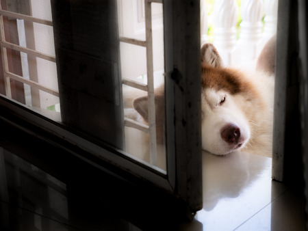 The Brown Siberian Husky Lying in front of The door