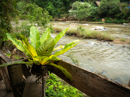The Bird's Nest Fern on Wooden Pot behind The Water in Streams Flowing