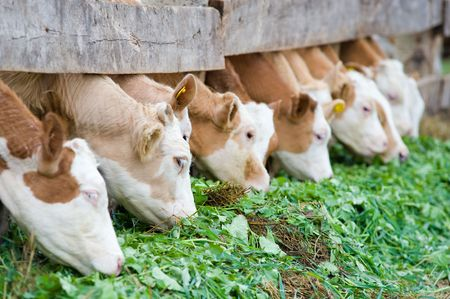 farm calves eating grass fodder