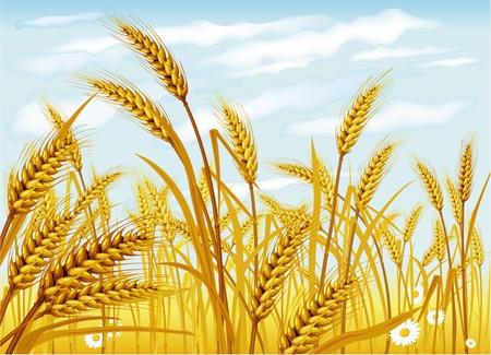 Illustration pour Wheat in the field - image libre de droit