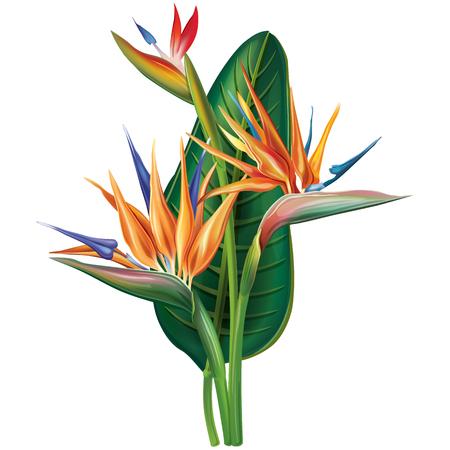 Ilustración de Strelitzia reginae flower on white - Imagen libre de derechos