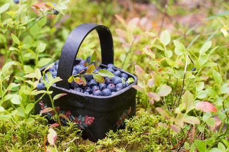 Fresh blueberry in basket on forrest background, selective focus