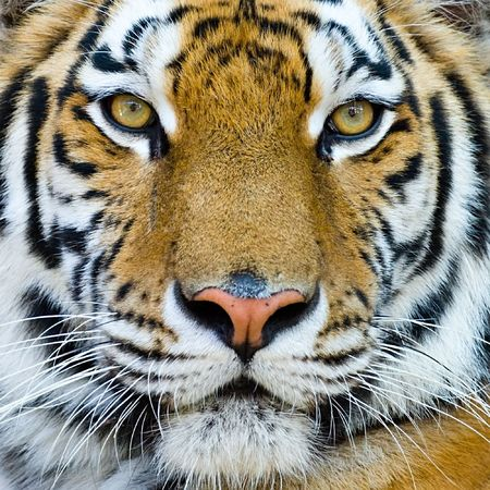close-up portrait of the big tiger on stone wall background