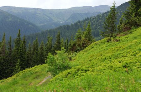 Fir forest and country road with puddle on summer mountainside (Ukraine, Carpathian Mountains)