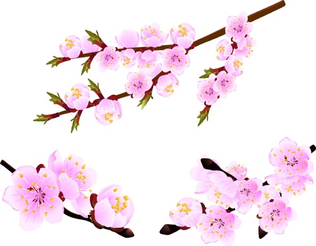 Blossoming twig of spring cherry  tree