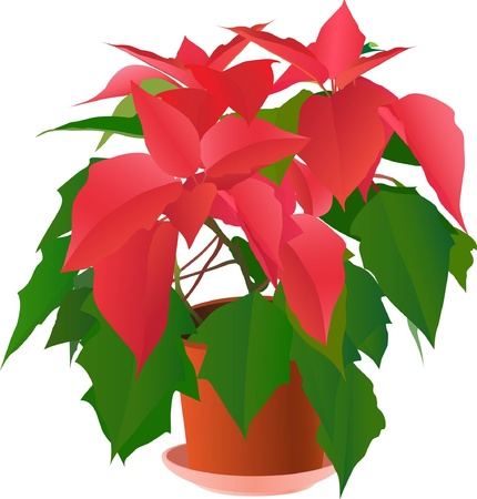 Illustration for Beautiful red poinsettia plant on white ( illustration) - Royalty Free Image
