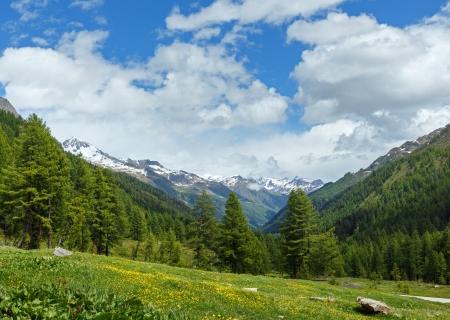 Yellow dandelion flowers on summer mountain slope (Alps, Switzerland)