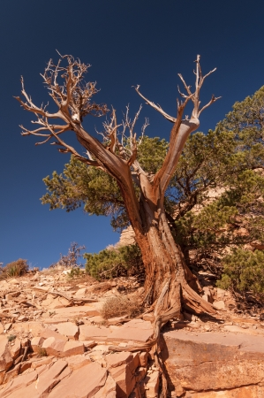 Weathered Tree along the South Kaibab Trail in the Grand Canyon