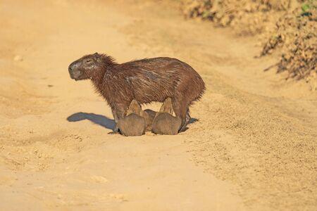 Foto de Capybara Mother Feeding Her Babies on the Pantanal Highway in Brazil - Imagen libre de derechos