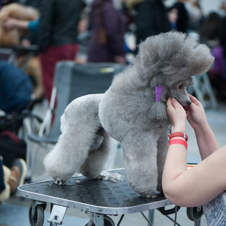 Photo pour Grey Standard Poodle at the Dog Show, , grooming on the table - image libre de droit