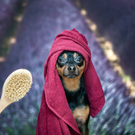 Funny puppy, dog in a towel after bathing. Pretty dog portrait closeup. Concept of adoption of spa procedures, on the background lavender field