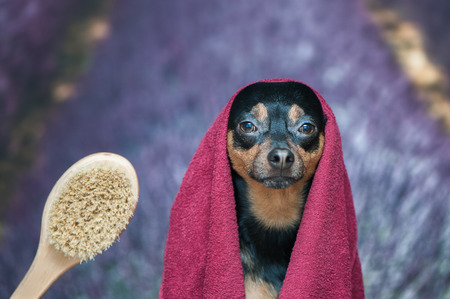 Funny puppy, dog in a towel after bathing. Pretty dog portrait closeup. Concept of adoption of spa procedures, on the background lavender field, space for text