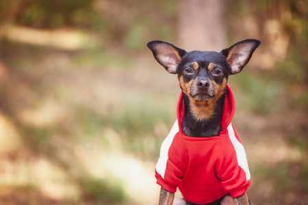 Fitness dog . Dog in sports clothes on a natural summer, autumn background. Theme of sports and animals