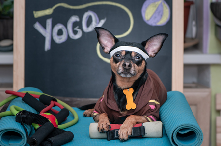 Pet yoga. Dog fitness. Fitness and healthy lifestyle for pet. Dog trainer portrait in studio surrounded by sports equipment