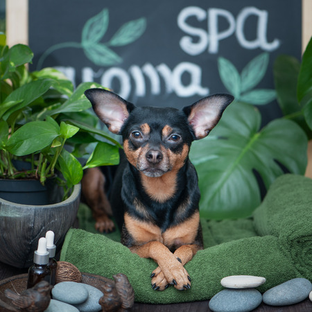 Massage and spa, a dog among the spa care items and plants. Funny concept grooming, washing and caring for animals
