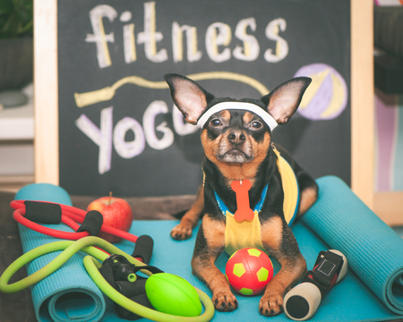 Cute dog with a ball. Dog football player or trainer . Football, basketball and volleyball. Dog Fitness , sport and lifestyle concept.