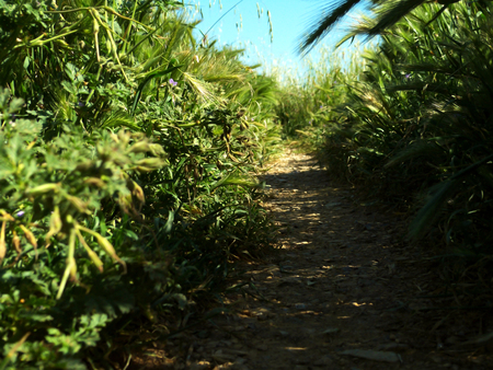 A path through wild and giant grasses