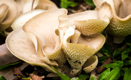Pleurotus ostreatus, the oyster mushroom, is a common edible mushroom. It was first cultivated in Germany as a subsistence measure during World War