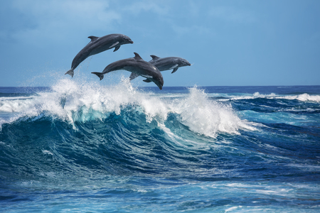 Three beautiful dolphins jumping over breaking waves. Hawaii Pacific Ocean wildlife scenery. Marine animals in natural habitat.