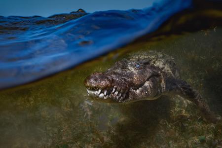 Photo pour Saltwater crocodile closeup underwater shot - image libre de droit