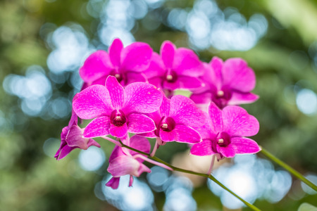 Dendrobium sonia orchid, purple orchid in a garden with green bokeh background.の写真素材
