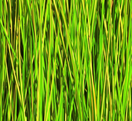 close up of green reed background