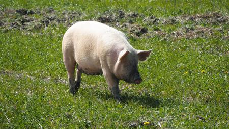 Photo pour happy pigs living outside in sweden - image libre de droit