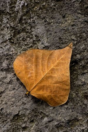 Single solitary autumn leaf fallen to the ground.