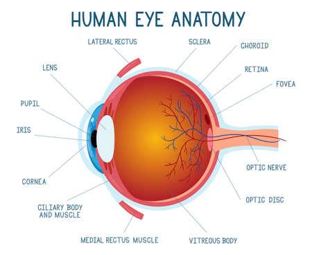 Illustration pour Cartoon eye anatomy scheme. Human eye ball infographic, eyeball inner structure vector illustration. Eye anatomy biology medicine poster - image libre de droit