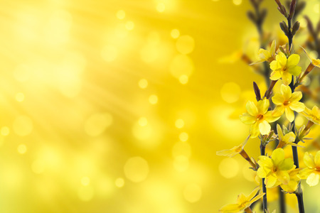 Photo pour flowering forsythia - image libre de droit