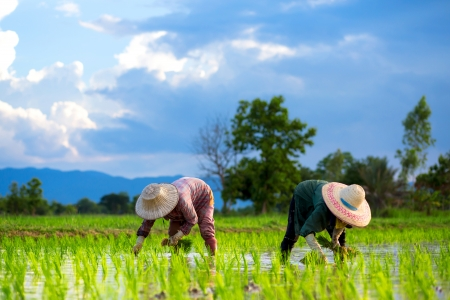 Photo pour Farmers are planting rice in the farm. - image libre de droit
