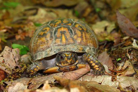Box Turtle (Terrapene carolina) at Monte Sano State Park - Alabama.