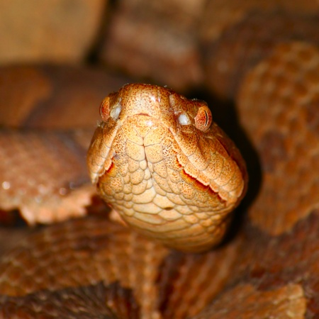 Venomous Copperhead (Agkistrodon contortrix) snake at Monte Sano State Park in Alabama