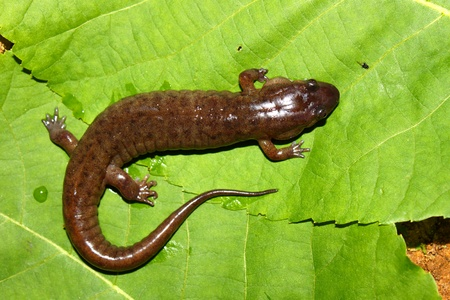 Dusky Salamander (Desmognathus conanti) in the southern United States