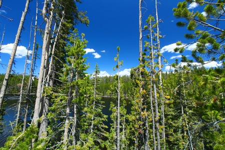 Pine trees dominate the shoreline of Scaup Lake in Yellowstone National Park
