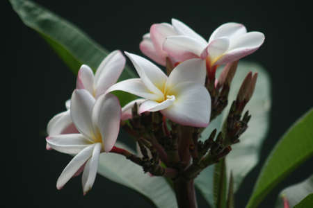 Foto für A closeup shot of white Mexican Frangipani flowers - Lizenzfreies Bild