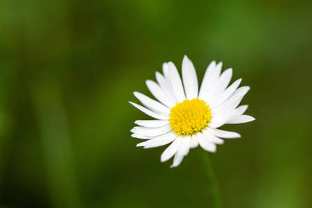 Photo for A closeup shot of chamomile on a blurred green background - Royalty Free Image