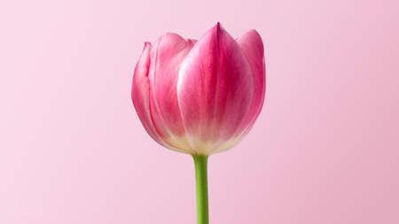 Photo pour A closeup shot of a beautiful pink tulip flower on a pink background - image libre de droit