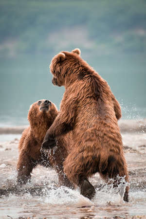 Photo pour A vertical shot of a two Russian Brown Bears fighting in a lake - image libre de droit