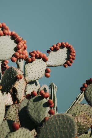 Foto für A vertical closeup shot of beautiful cacti branches with prickly peach fruit on them - Lizenzfreies Bild