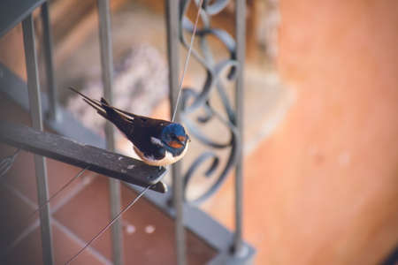 Photo pour A closeup shot of a small cute cliff swallow resting on a cloth drying rope near a balcony - image libre de droit