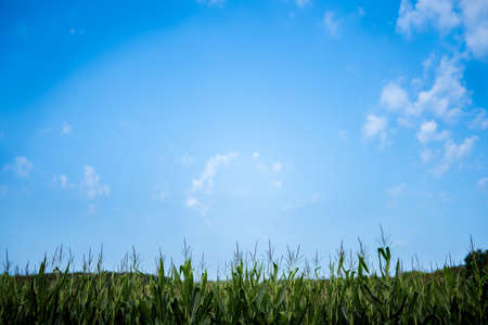 Photo pour A beautiful shot of a cornfield with a blue sky in the background - image libre de droit