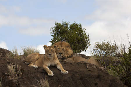 A lion and a lioness lying proudly on a muddy hill in the middle of the jungle