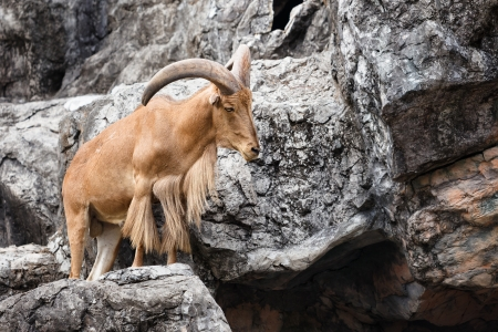 Barbary sheep ( Ammotragus lervia )  native to rocky mountains in North Africa