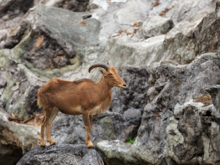Barbary sheep   Ammotragus lervia    native to rocky mountains in North Africa