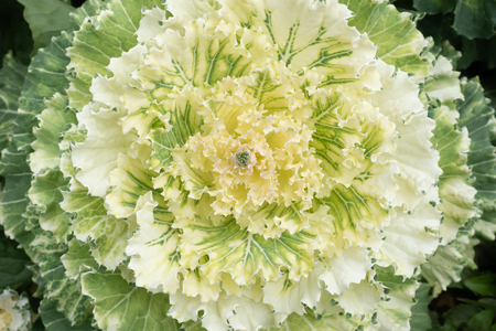 White Flowering or Ornamental Cabbage and Kale top view background