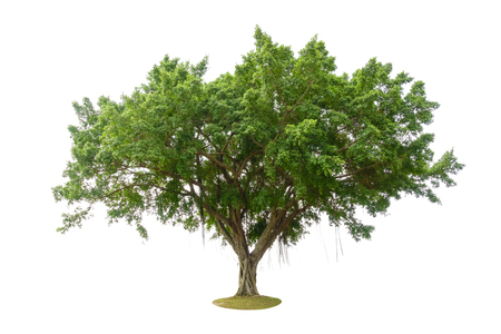 Photo for Banyan tree or banian ( Ficus benghalensis) isolated on white background - Royalty Free Image