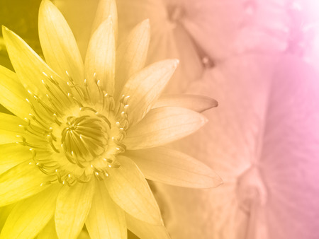 Sweet color water lily in soft style for background
