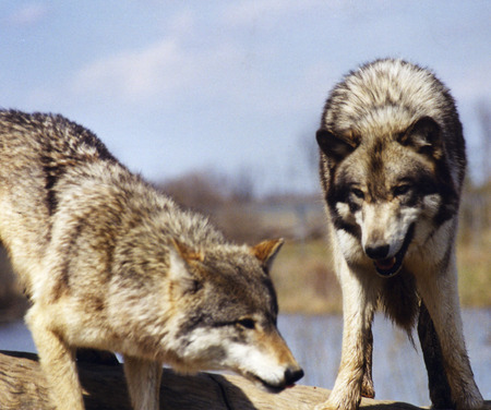 Wolves watchout