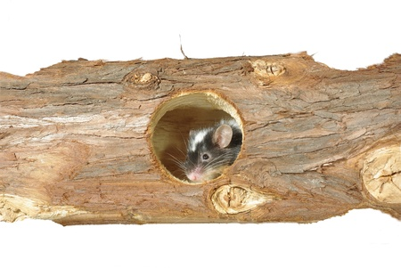 mouse in hole in wooden trunk